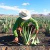 Cosecha Plantas de Aloe Vera - AbsolutAloe