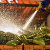 Lavado de hojas de Aloe Vera - AbsolutAloe